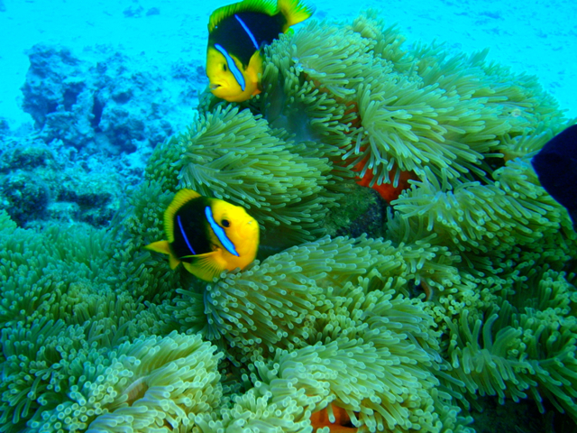 chasing-Nemo-at-Tahiti