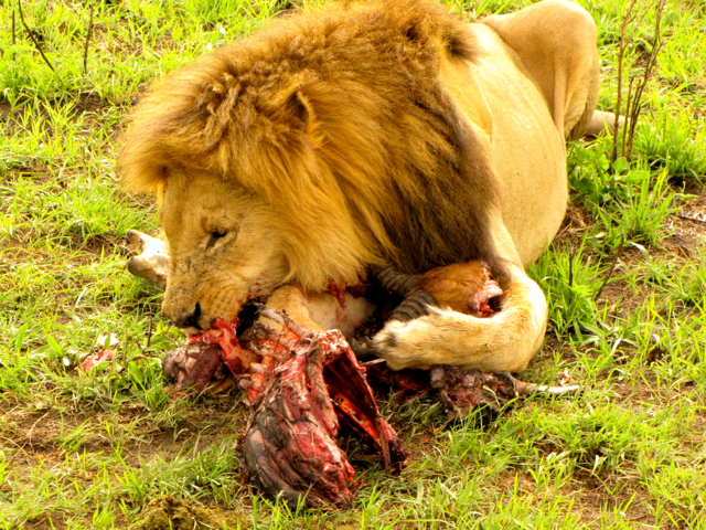 lion king eating