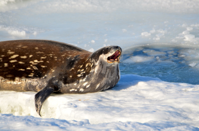Leopard seal at Antarctica