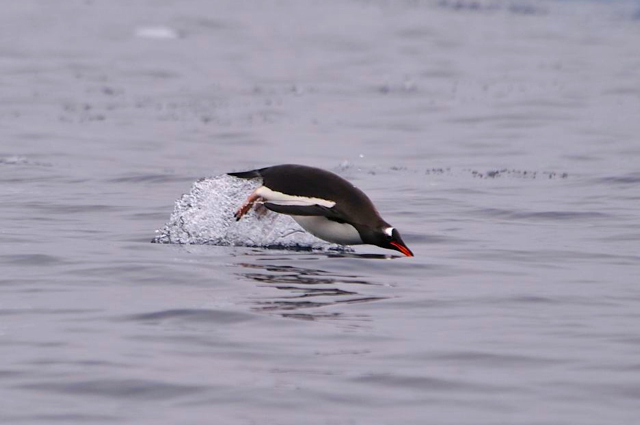 Swimming penguin-Antarctica