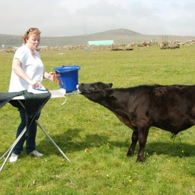 Extreme ironing while milk feeding a cow