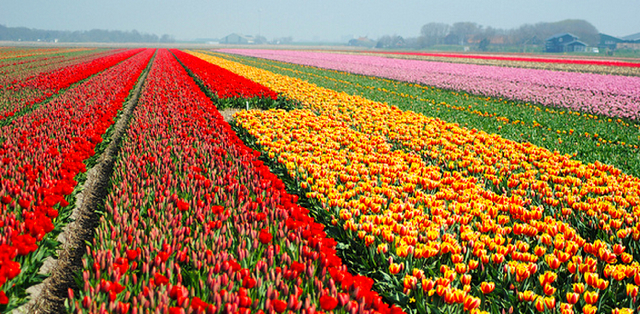 Tulip farm in Netherlands