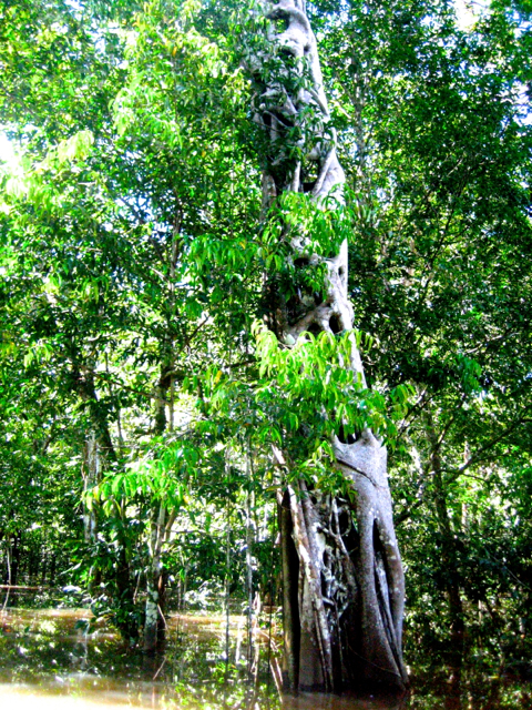 VEry old tree in amazon Brazil
