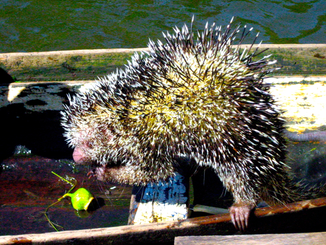 hedgehog at amazon