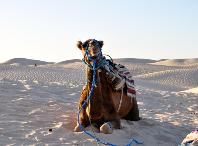 Camel at Sahara desert, Tunisia