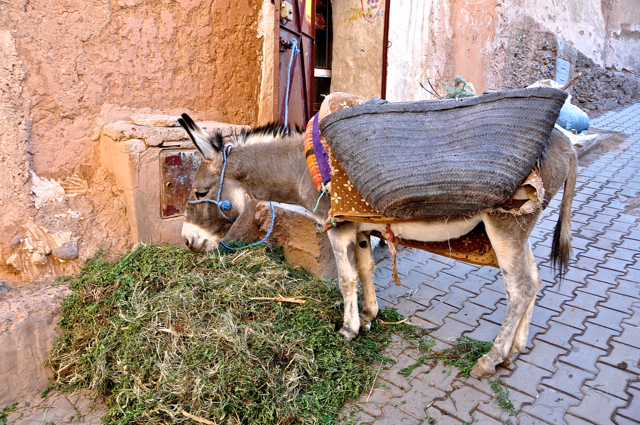 donkey from morocco, africa