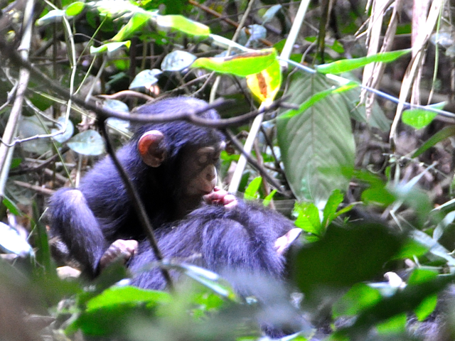 baby champanzee in guinea