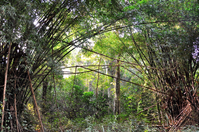 bamboo road in guinea
