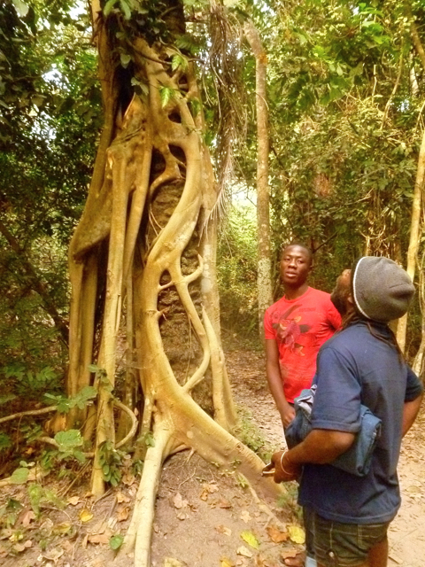 parasite tree at ghana