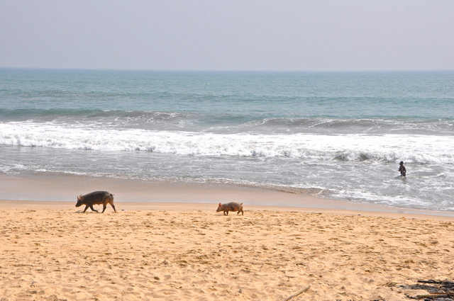 pig in the beach-elimina