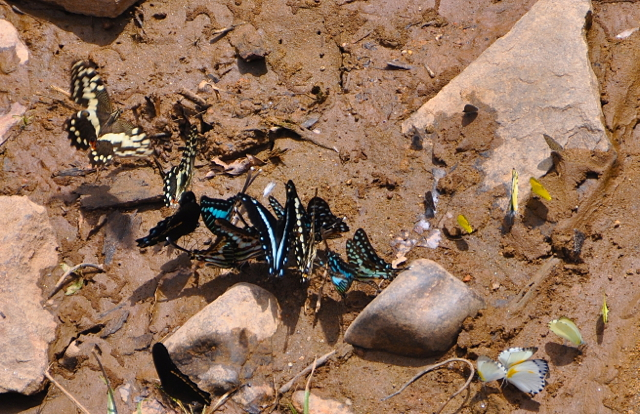 butterflies drinking water at nigeria