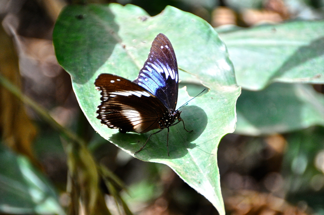 butterfly at Afi mountain, nigeria