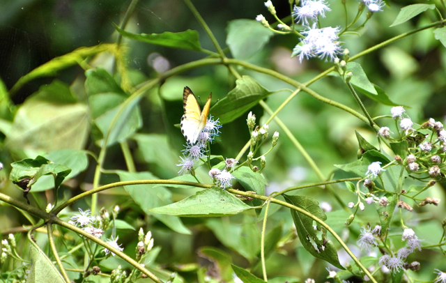 butterfly at Afi mountain