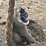 drill monkey at limbe- cameroon