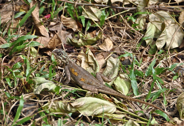 lizard at cameroon