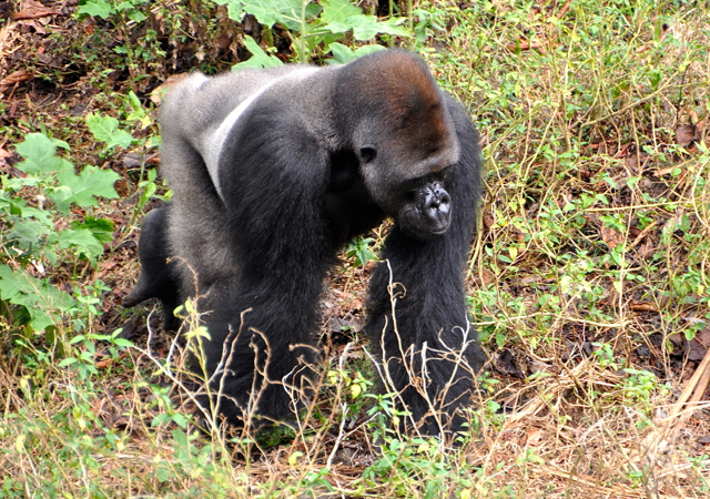silver back gorilla at cameroon