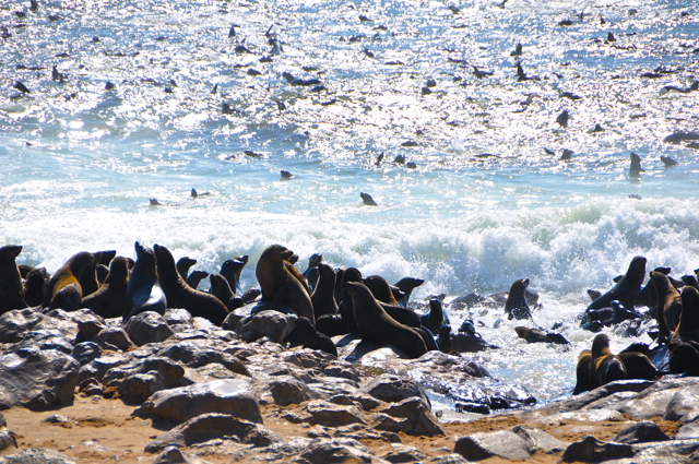 cape coast seals