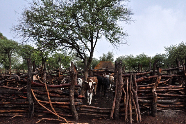 cattle in Nambia