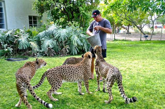 cheetahs at nambia