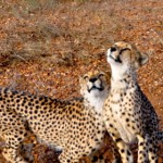 cute cheetah-nambia