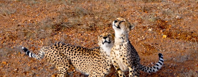 Cheetah Farm, Nambia