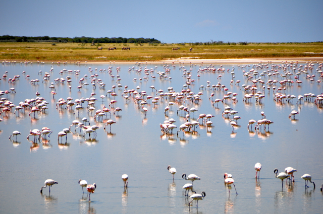 flamingo at etosha