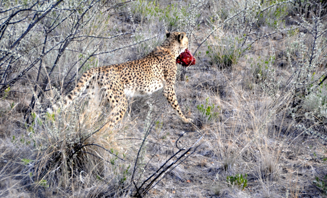 hungry cheetah at nambia