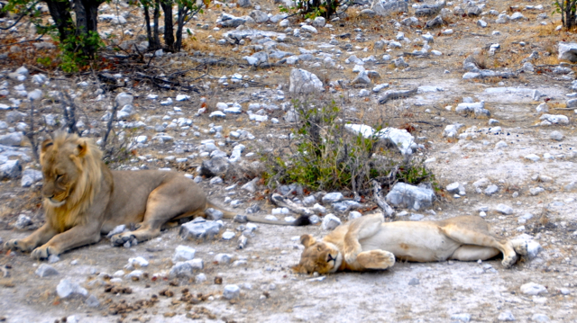 lion after mating-etosha nambia