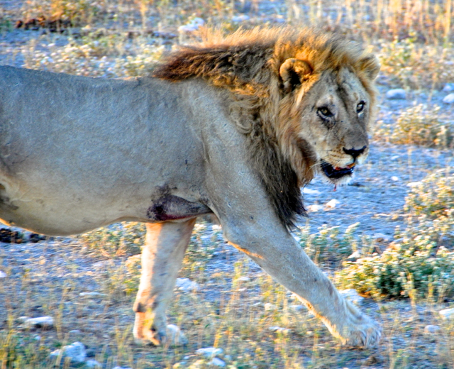 lion at etosha national parl