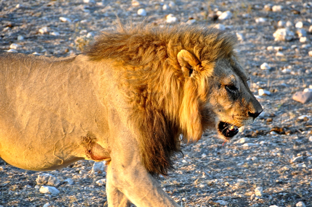 lion face at etosha