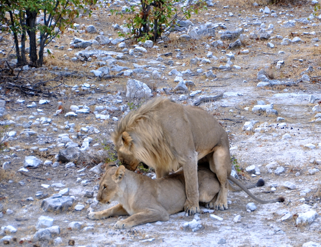 lion mating at etosha national park-nambia