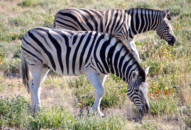 zebra at nambia