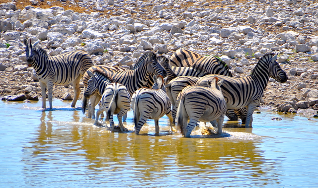 zebra at okaukaejo waterhole