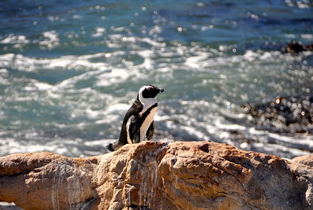 african penguin in cape peninsula