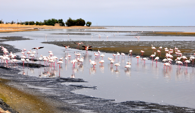 beautiful flamingo at Namibia ocean