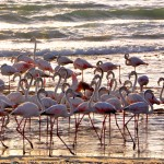 flamingo by the ocean, Namibia