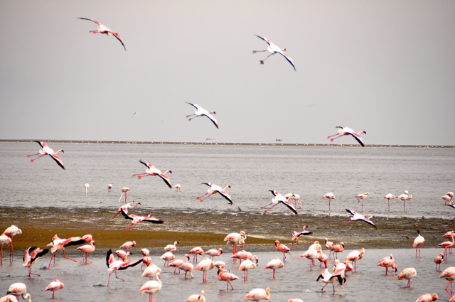 flying flamingo at Nambia, Africa