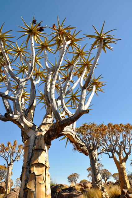 graver's tree forest, namibia