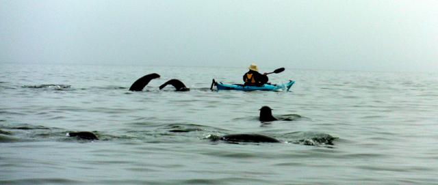 sea kayaking with seal at Pelican point