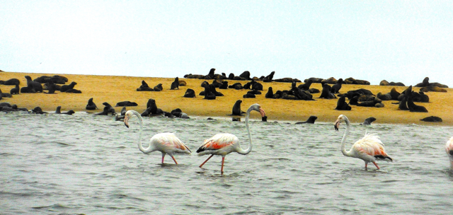 seal and flamingo at seal-Namibia