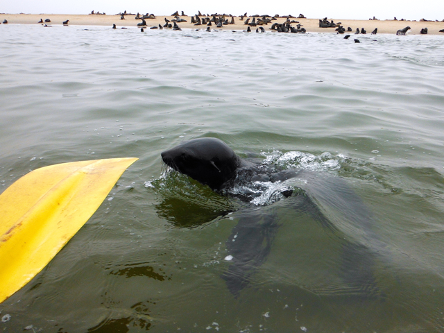 sea kayaking with seal at Namibia