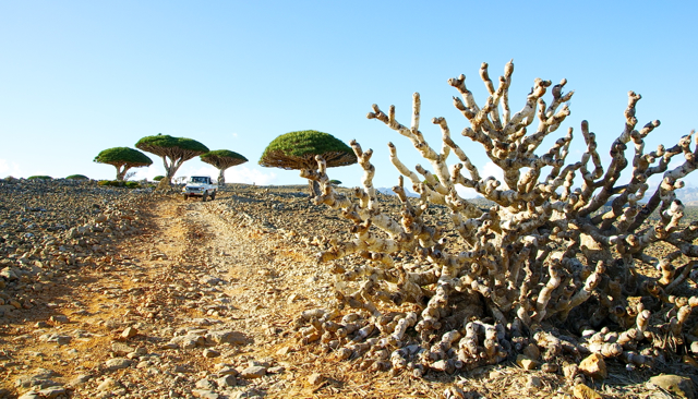 dragon blood tree at socotra-yemen