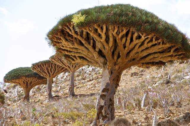 dragon blood tree-socotra