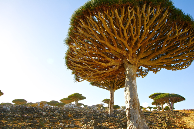socotra-dragon blood tree