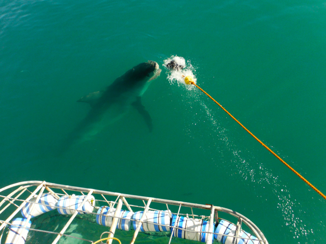 Cage shark dive-south Africa